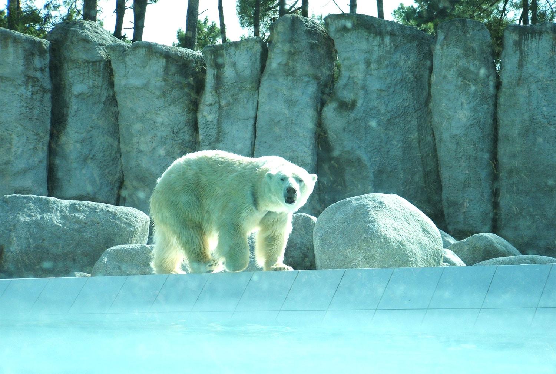 Ours blanc zoo de la Palmyre