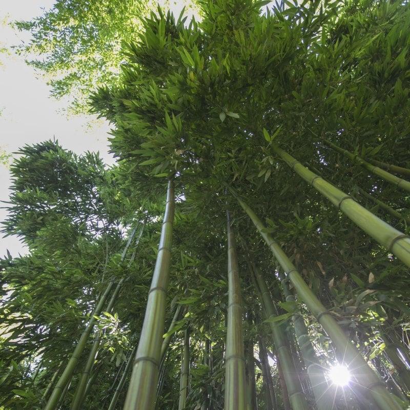 bambouseraie de Matha
