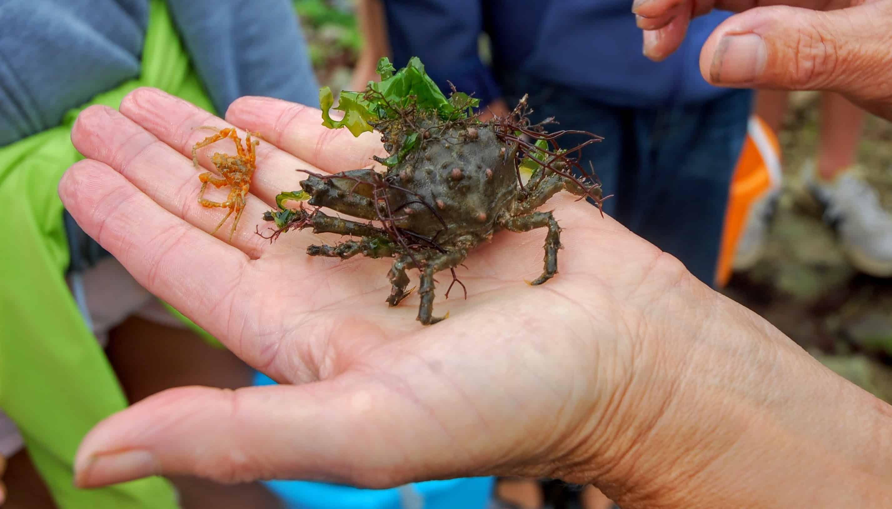 peche a pied crabe