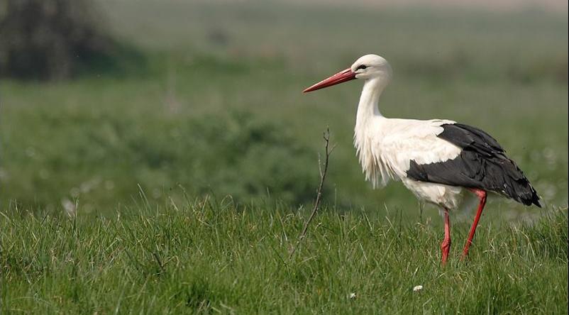 Pôle-Nature Marais aux oiseaux-cigogne