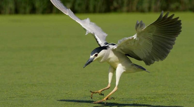 Pôle-Nature Marais aux Oiseaux - Bihoreau gris