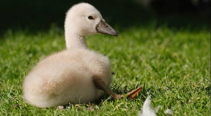 Pôle-Nature Marais aux Oiseaux - bébé cygne