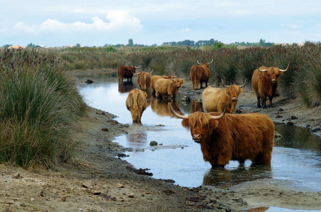 vaches Highlands du Marais du Pôle Nature du marais d'Yves