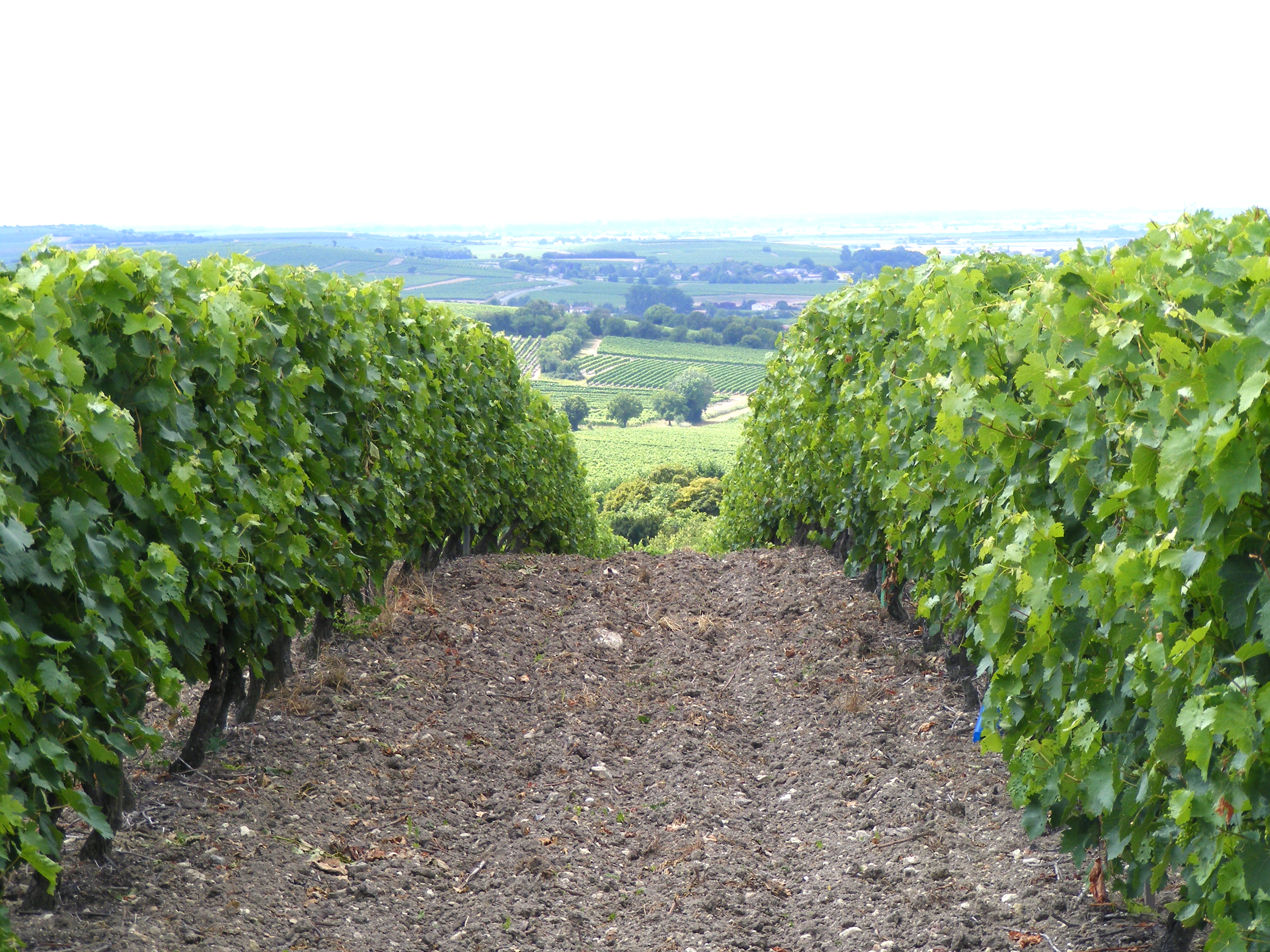 1.cognac_vineyard_area